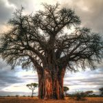 Baobab Tree by Anne McKinnell