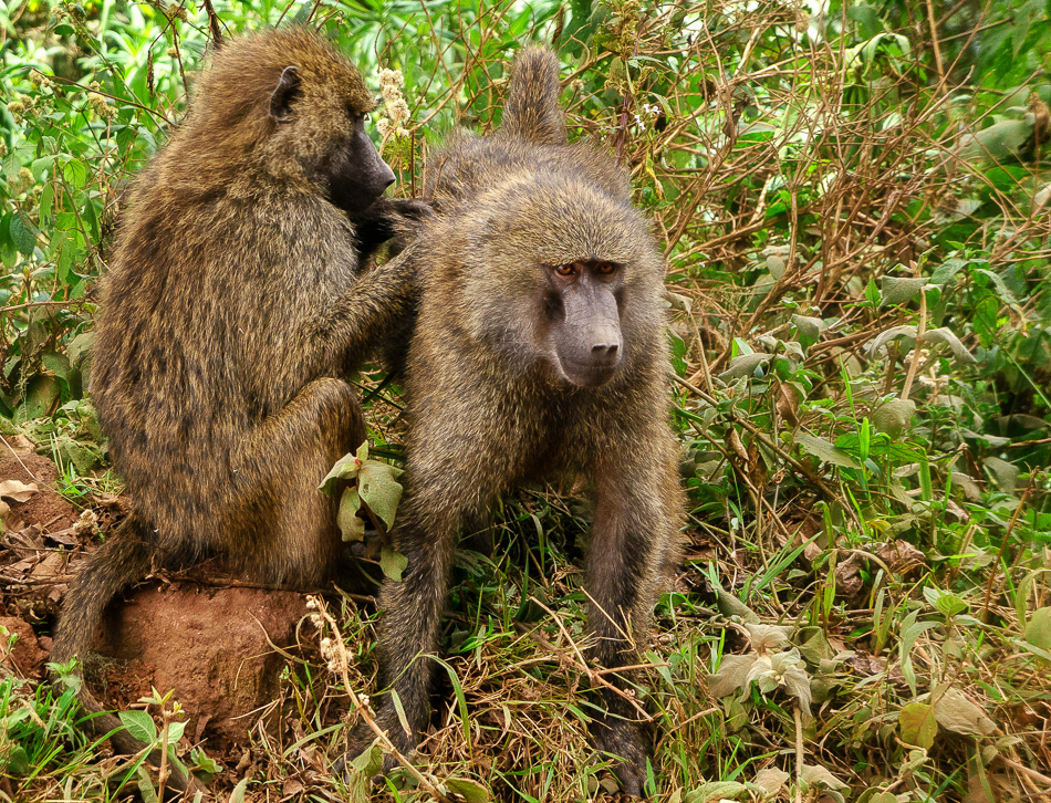 Baboons by Anne Mckinnell