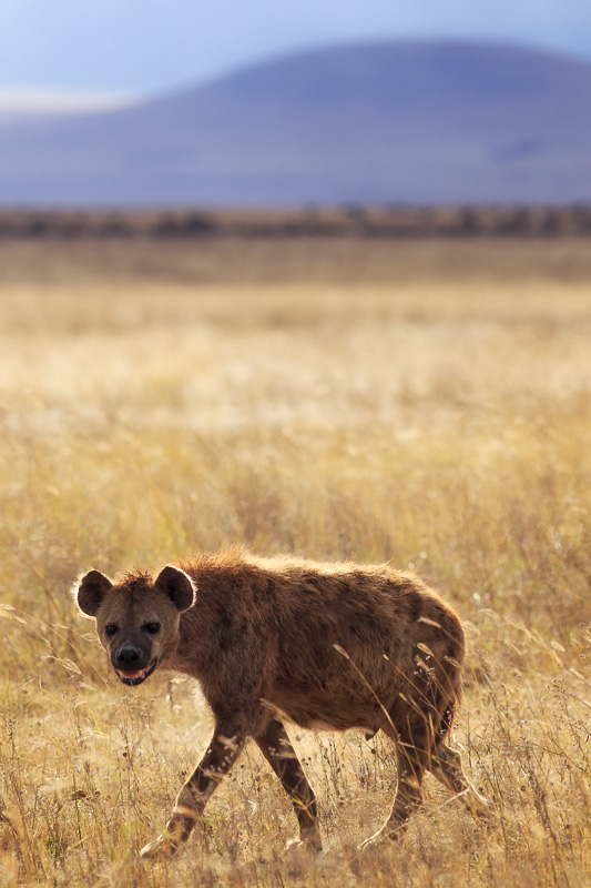 Hyena by Anne Mckinnell
