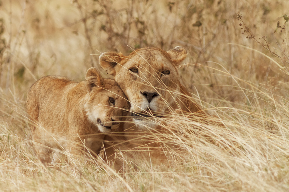 Lion and Cub by Anne Mckinnell