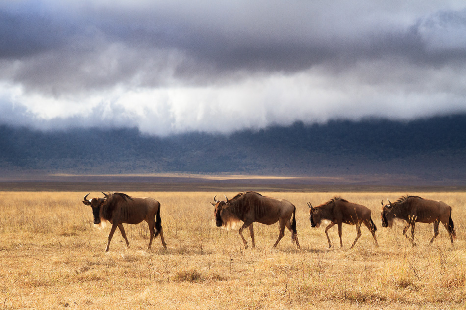 Four Wildebeest by Anne Mckinnell