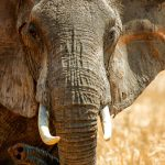 The Elephants of Tarangire National Park, Tanzania