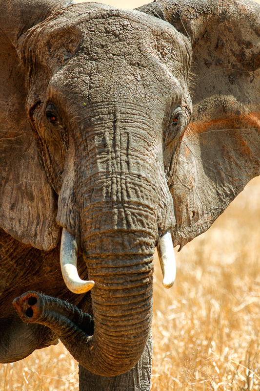 Elephant Stare by Anne McKinnell