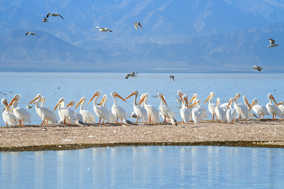 Row of White Pelicans by Anne McKinnell