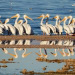 White Pelicans at the Salton Sea, California