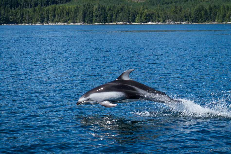 Pacific White Sided Dolphin by Anne McKinnell