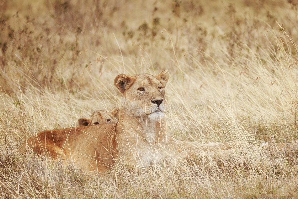 Lion Mother and Cub by Anne McKinnell