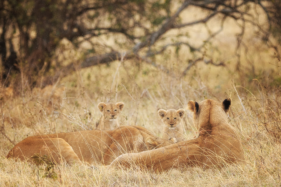 Two Inquisitive Lion Cubs by Anne McKinnell