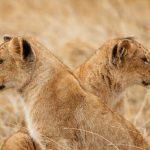 Lion Cubs in Ngorongoro Crater, Tanzania