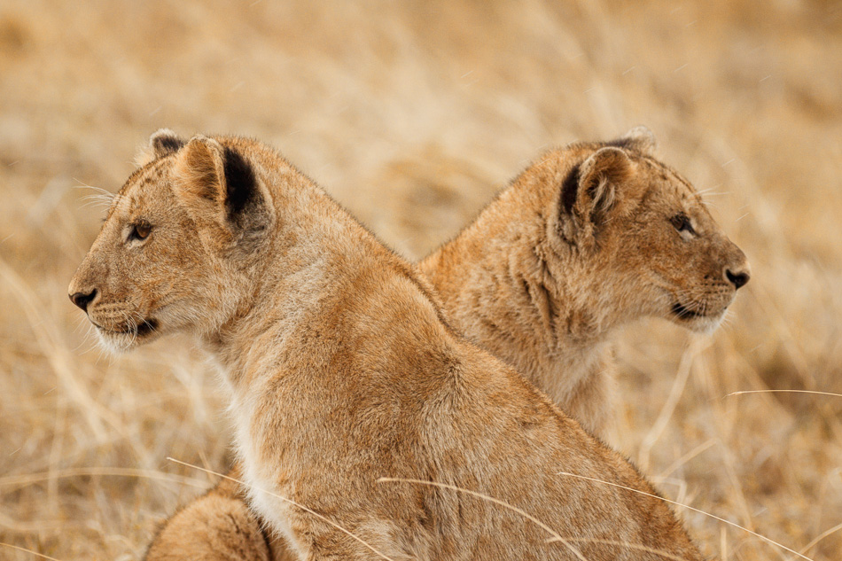 Two Lion Cubs by Anne McKinnell
