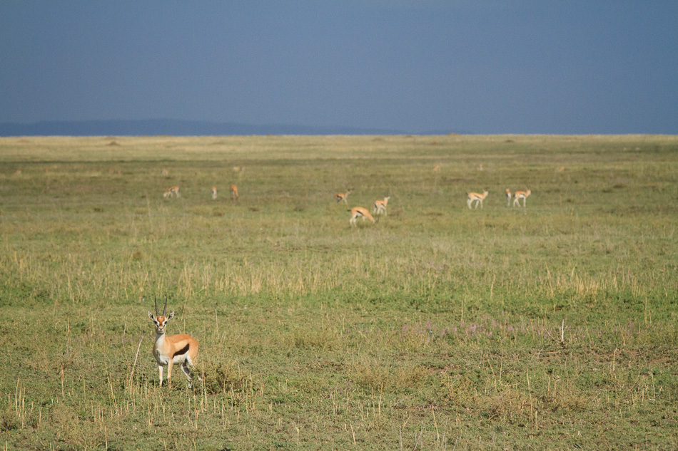 Thomson's Gazelles