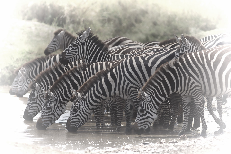 Zebras at the Watering Hole by Anne McKinnell