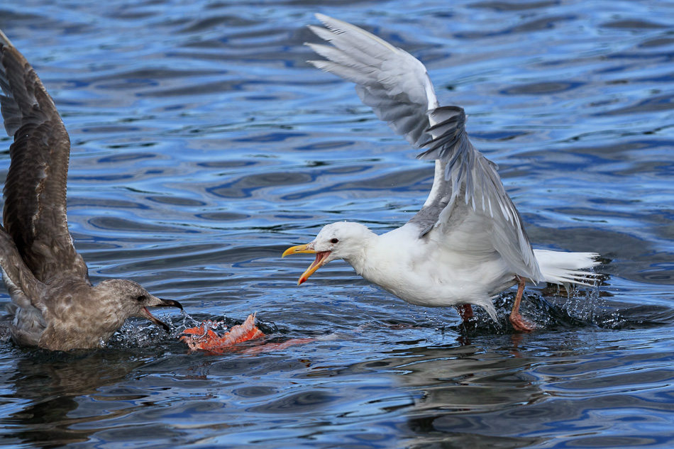 Seagulls and Salmon 4 by Anne McKinnell