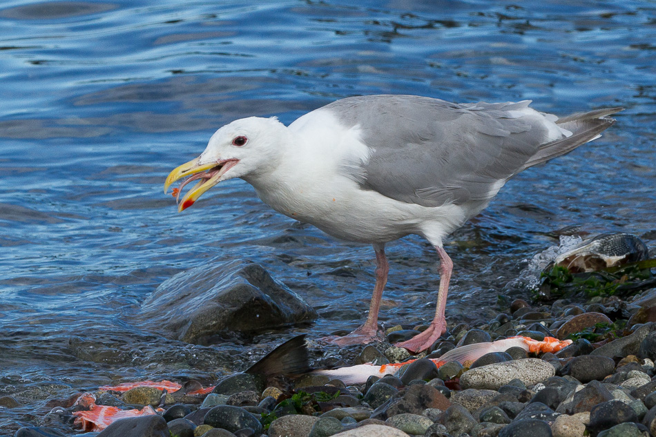 Seagulls and Salmon 5 by Anne McKinnell