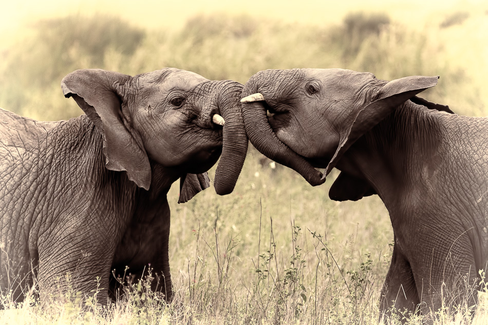 Two Baby Elephants Playing