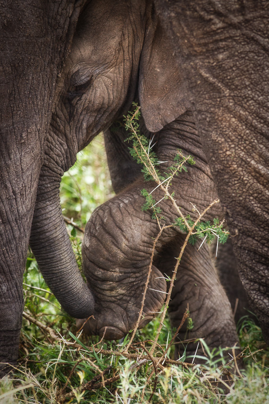 Baby Elephant Steps by Anne McKinnell