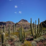 More Cacti at Organ Pipe Cactus National Monument