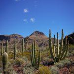 More Cacti at Organ Pipe Cactus National Monument
