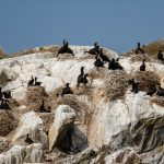 Nesting Cormorants on Mitlenatch Island