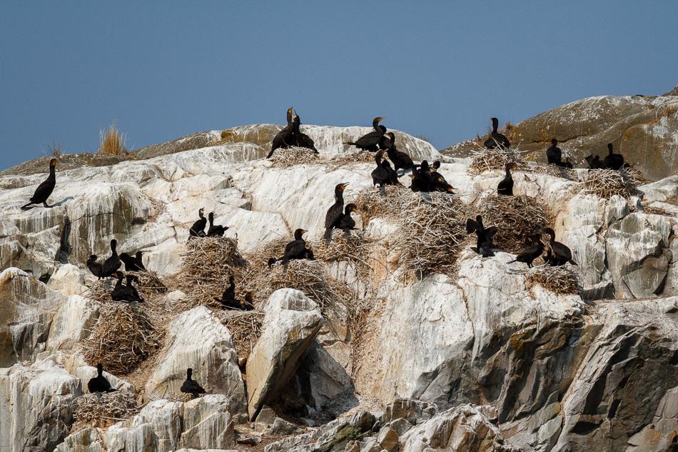 Nesting Cormorants by Anne McKinnell