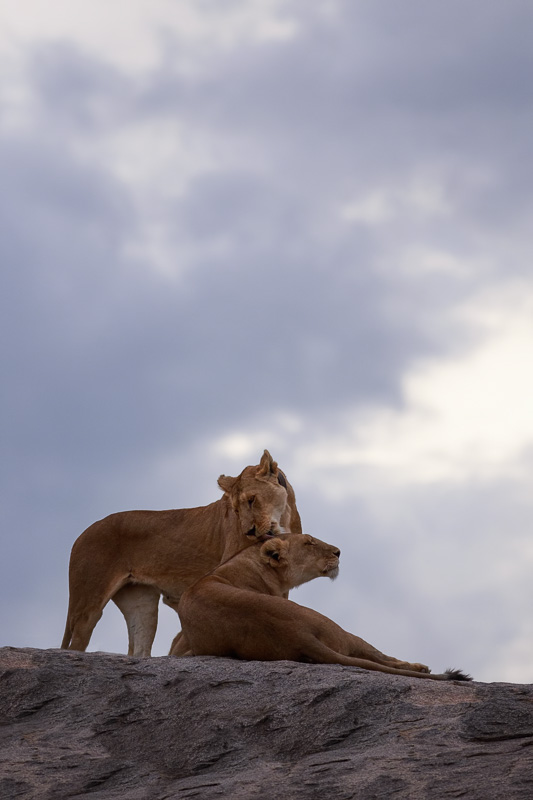 Two Lions on Kopje by Anne McKinnell