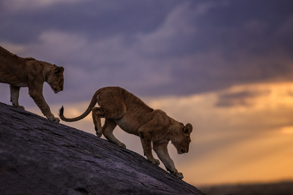 Lion Cubs on the Kopje by Anne McKinnell