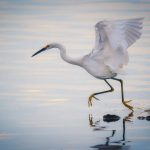 The Dancing Egret at Salton Sea, California