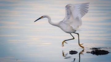 Egret Running by Anne McKinnel