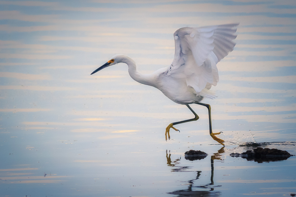 Egret Running by Anne McKinnel