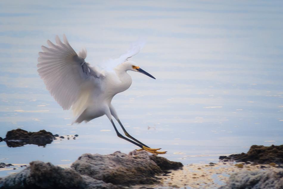 Egret Landing by Anne McKinnell