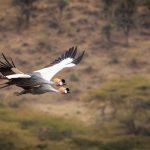 Crested Cranes in Flight at Ngorongoro Crater Tanzania