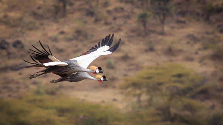 Crested Cranes in Flight