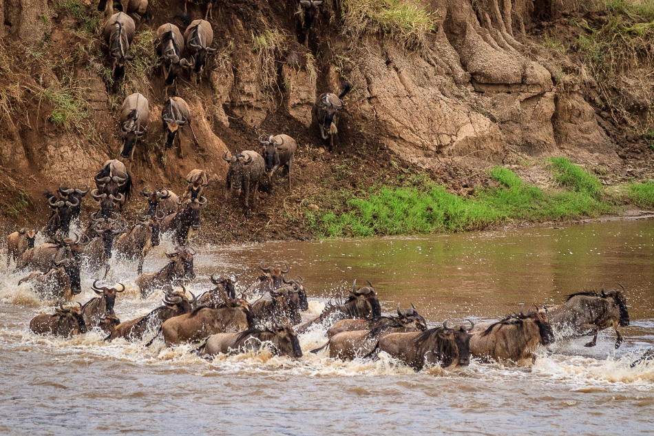 Wildebeest Migration by Anne McKinnell