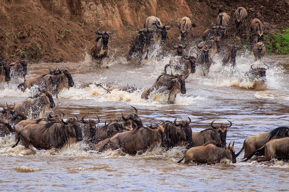 Wildebeest Migration by Anne McKinnell