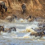 The Wildebeest Migration: A Photo Essay