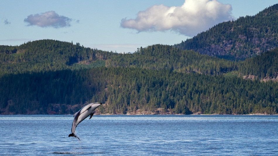 Dolphin Jumping by Anne McKinnell