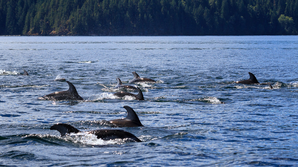 Many Dolphins Swimming by Anne McKinnell