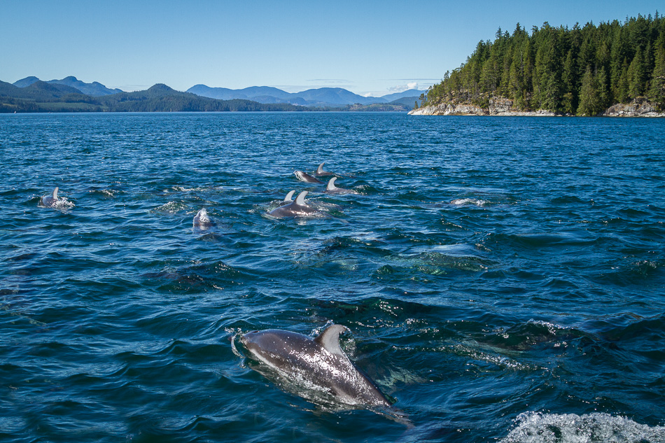 Pacific White Sided Dolphins by Anne McKinnell