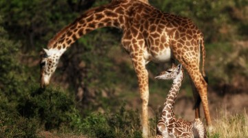Mother and baby giraffe by Anne McKinnell