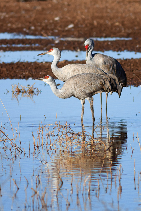 Sandhill Cranes at Whitewater Draw by Anne McKinnell