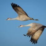 Sandhill Cranes at Whitewater Draw, Arizona – Part 1