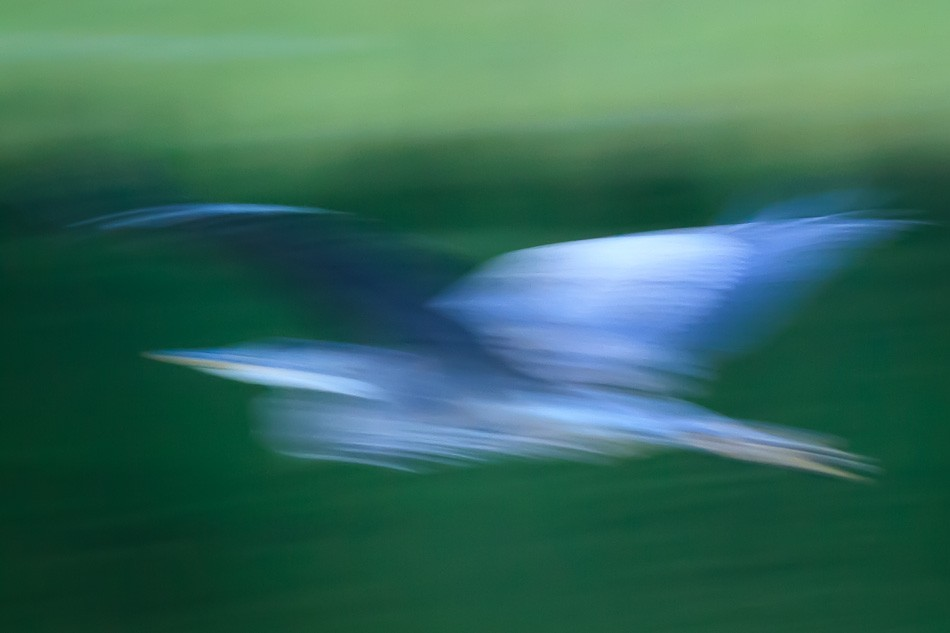 Great Blue Heron Abstract by Anne McKinnell