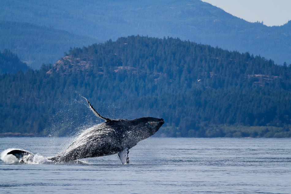 Two Humpback Whales Breaching by Anne McKinnell