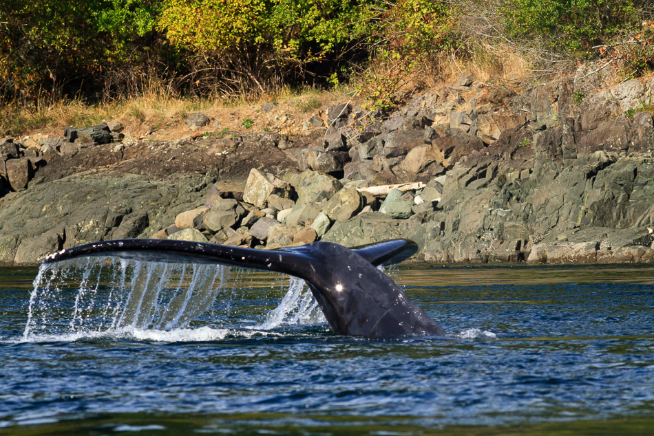 Humpback Whale Tail by Anne McKinnell