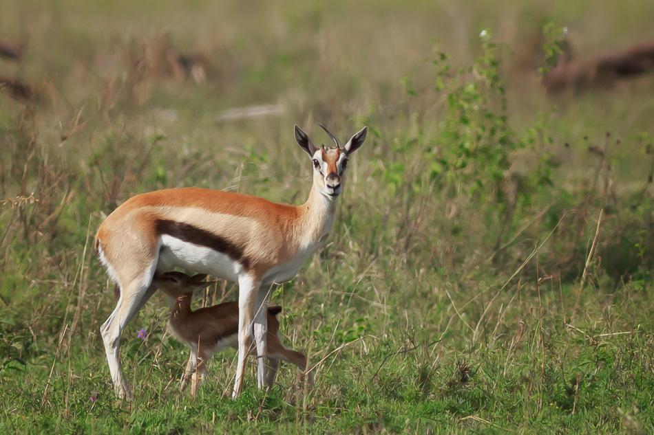 Thomson's Gazelles by Anne McKinnell