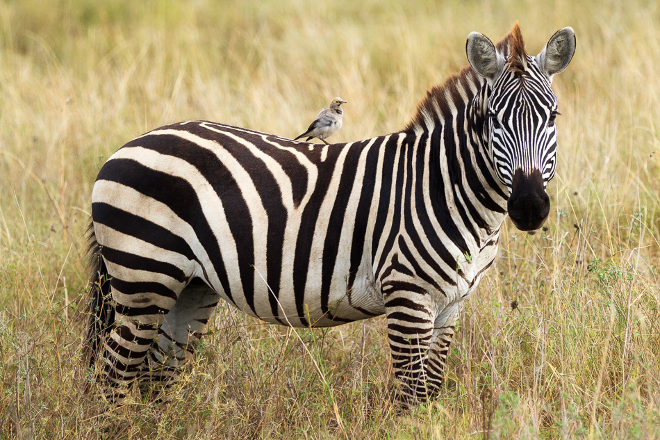 Zebra and Oxpecker by Anne McKinnell