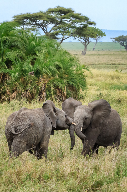 Two Elephants Playing by Anne McKinnell