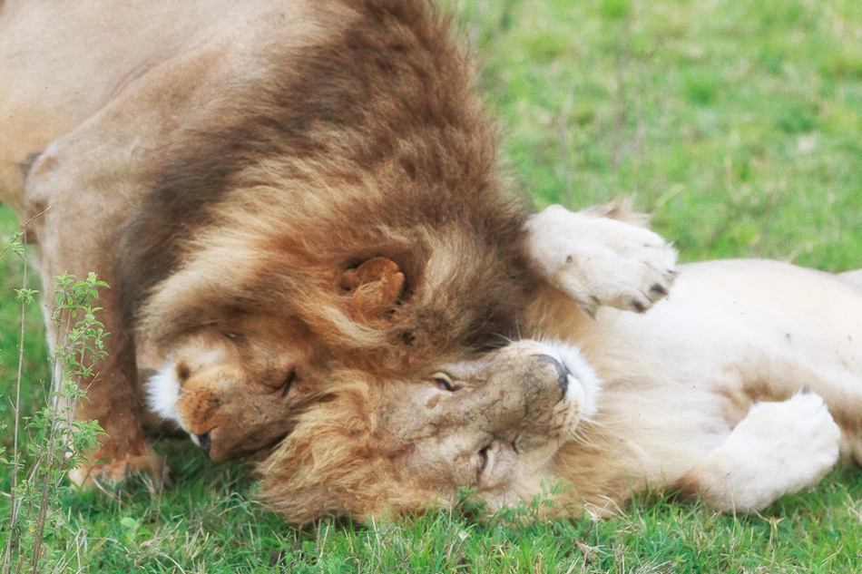 Lion Brothers by Anne McKinnell