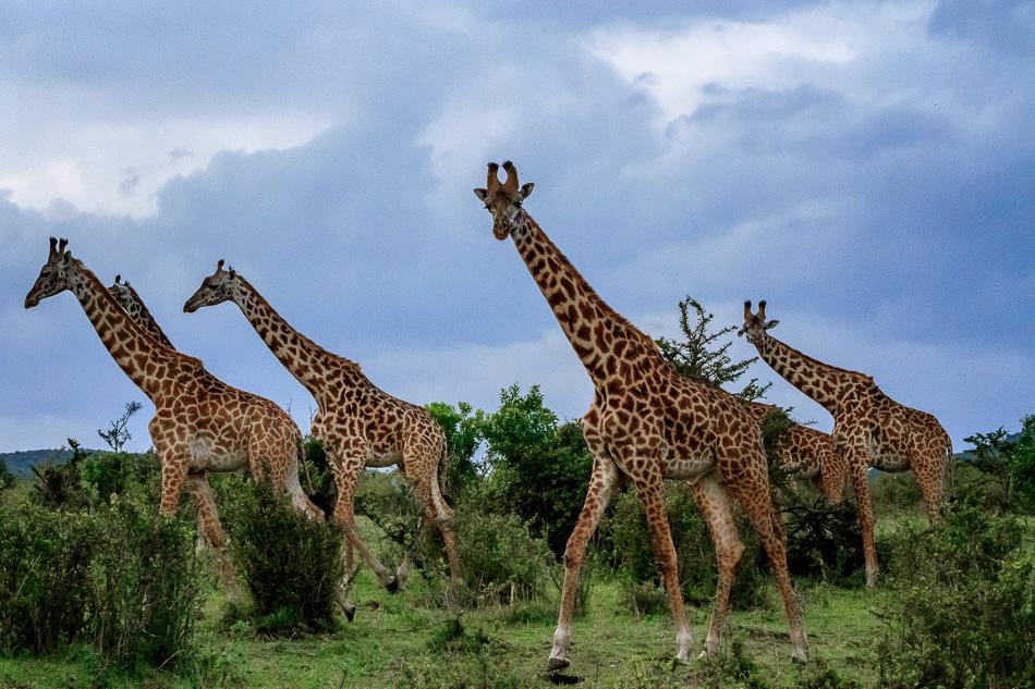 Serengeti Giraffes by Anne McKinnell