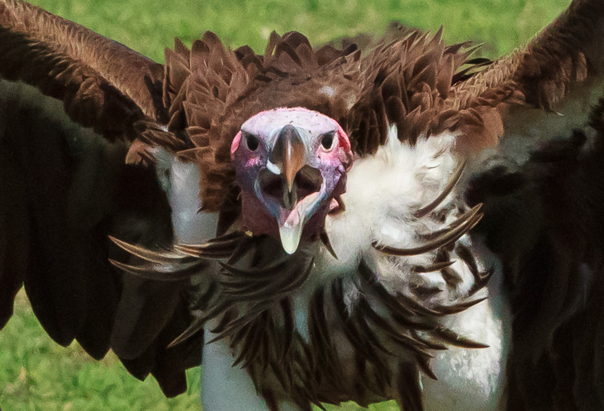 Vulture by Anne McKinnell